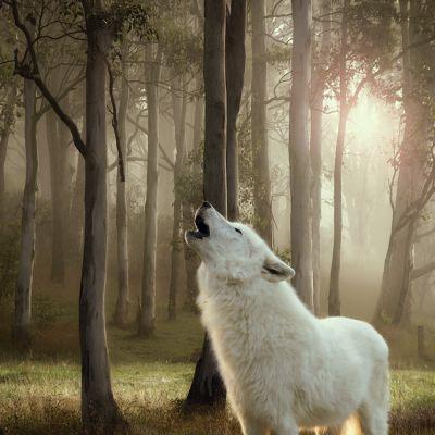 Voordeelpakket Wolf of Wilderness Senior 12 x 400 g